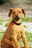 бежевый щенок Стоковое Фото