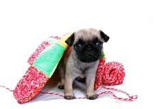 Бежевый щенок Mopsa выходит из-под шерстяной шотландки стоковые изображения