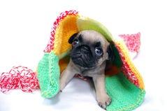 Бежевый щенок Mopsa выходит из-под шотландки стоковые фотографии rf
