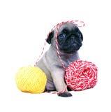 Бежевый щенок Mopsa сидит с шариками пряжи стоковые фото