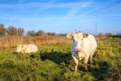 2 бежевых коровы в сельском ландшафте голландца Стоковые Фото