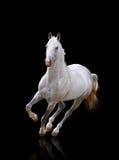 бежит белизна жеребца Стоковая Фотография