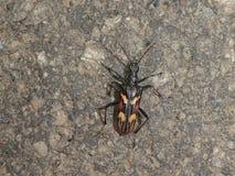 Беж коричневого цвета черноты черепашки жука крепкого темного пива стоковое изображение
