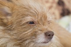 Беж собаки щенка Собака лежит на кресле Портрет собаки конца-вверх стоковое фото rf