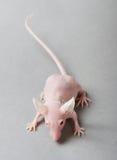 безволосая мышь стоковые фото