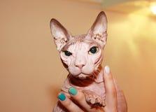 Безволосый белый кот стоковое изображение