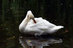безгласная preening белизна лебедя стоковое изображение rf