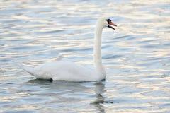 Безгласный лебедь в воде Стоковые Изображения