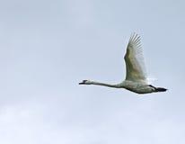 безгласный лебедь летая Стоковые Фото