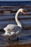 Безгласный лебедь на море Стоковые Изображения RF