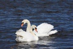 безгласный лебедь пруда Стоковые Изображения