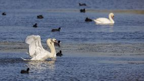 Безгласный лебедь с открытыми крылами Стоковое Изображение