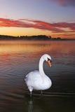 безгласный лебедь Стоковые Фотографии RF