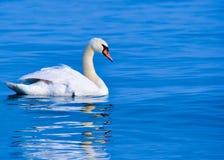безгласный лебедь Стоковое фото RF