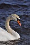 безгласный лебедь Стоковое Изображение