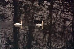 2 безгласных лебедя плавая в реке Стоковая Фотография RF