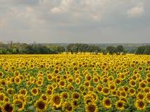 Безграничные поля цвести солнцецвета стоковые изображения