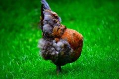 Безглавый цыпленок Стоковые Фотографии RF