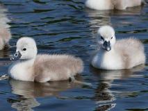 Безгласное Swan- olor Cygnus Стоковое Фото
