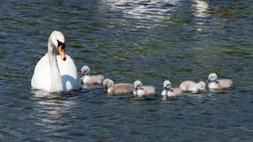 Безгласное Swan- olor Cygnus Стоковые Изображения