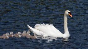 Безгласное Swan- olor Cygnus Стоковая Фотография RF