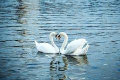 Безгласные лебеди и утки стоковая фотография rf