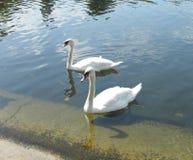безгласные лебеди пар Стоковое Фото