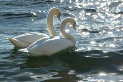 Безгласные лебеди Стоковая Фотография