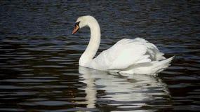 Безгласный лебедь в воде Стоковое Изображение