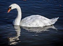 Безгласный лебедь в Гайд-парке Стоковые Фотографии RF