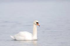 Безгласный лебедь в зиме стоковые фотографии rf