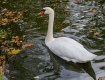Безгласный лебедь в осеннем пруде Стоковые Изображения