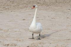 Безгласный лебедь идя на пляж песка реки стоковые изображения rf