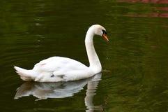 Безгласный лебедь на воде стоковое изображение