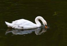 Безгласный лебедь на воде стоковые изображения