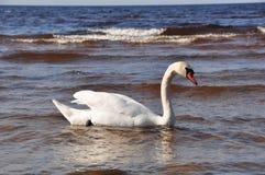 Безгласный лебедь на море Стоковое фото RF