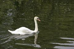 Безгласный лебедь на реке Стоковая Фотография