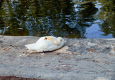 Безгласный лебедь отдыхая в траве в парке Софии Reina, del Segura Guardamar Испания Стоковые Изображения RF
