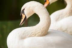 Безгласный лебедь Стоковая Фотография