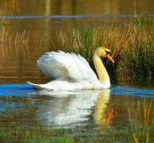 Безгласный лебедь Стоковое Изображение RF