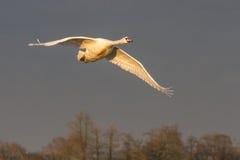 Безгласный лебедь & x28; Cygnus Olor& x29; в полете Стоковые Изображения