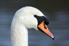 Безгласный лебедь, olor Cygnus Стоковое Изображение