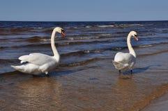 2 безгласных лебедя на море стоя Стоковая Фотография