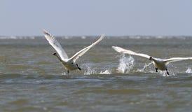 2 безгласных лебедя принимая  Стоковые Изображения RF