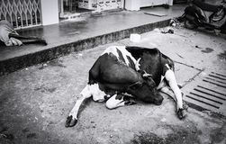 Бездомная корова лежа на мостоваой в индийском городе Стоковое фото RF