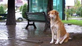 Бездомная красная собака сидит на улице города в дожде на фоне проходить автомобили и людей акции видеоматериалы