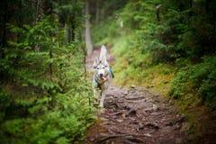 Бездомная собака в древесинах связанных к дереву Стоковые Фотографии RF