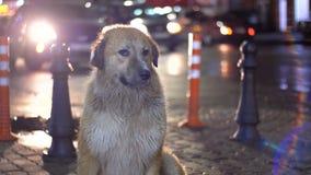 Бездомная собака сидит на улице города вечером на предпосылке проходить автомобили и людей видеоматериал