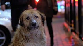 Бездомная собака сидит на улице города вечером на предпосылке проходить автомобили и людей сток-видео