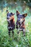 2 бездомной собаки в зеленой траве Собака с обломоком на ухе Стоковые Фотографии RF